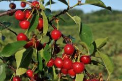 Montmorency Cherry (tart) (5-7')