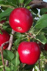 Gale Gala Apple (5-7')