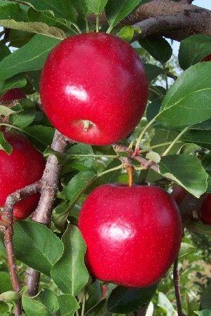 Gale Gala Apple (5-7')