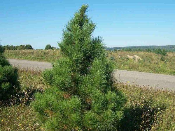 """Red Pine Seedlings (x50) (6-12"""")"""