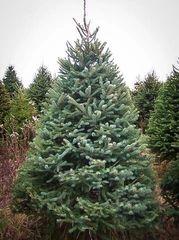 White Spruce Transplant (x10) (2'+)