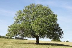 Black Walnut (1-2')