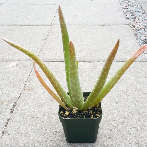 Aloe Vera Barbadensis