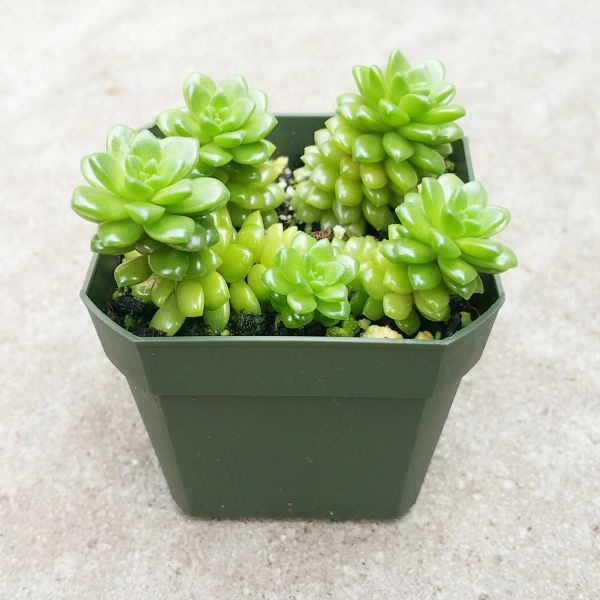 Sedum Little Gem