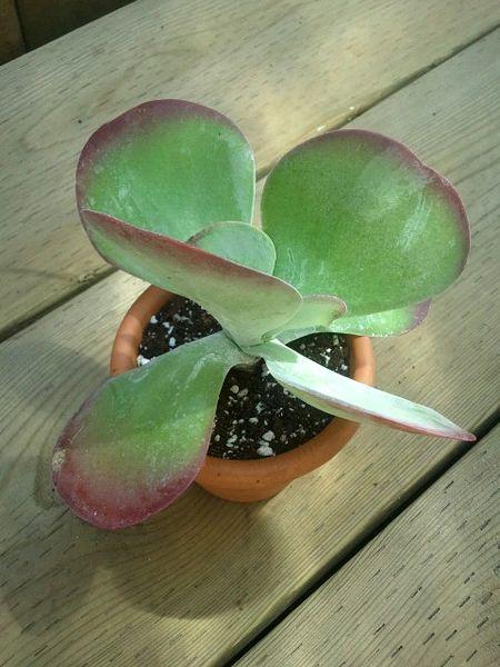 Kalanchoe Thyrsiflora aka Desert Rose