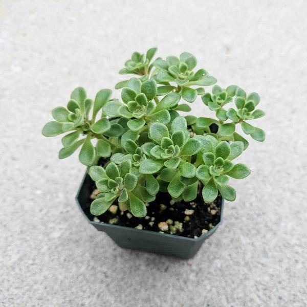 Aeonium Irish Bouquet