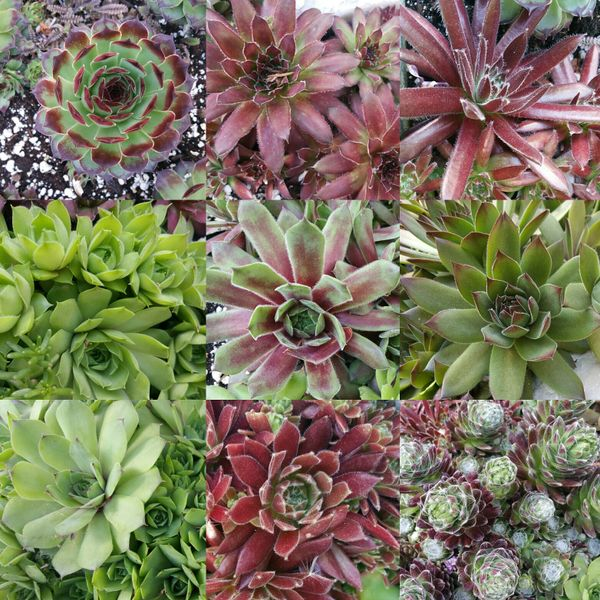 Assorted Sempervivum Cuttings