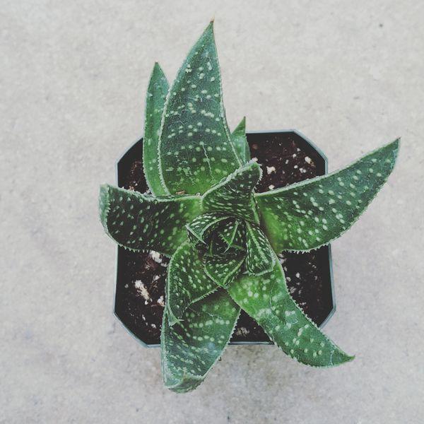 Gasterhaworthia 'Rosava'