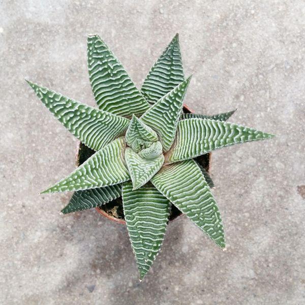 Haworthia Limifolia var. Striata
