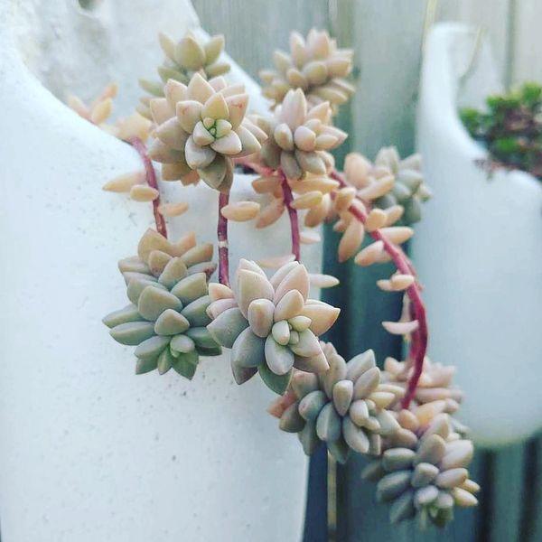 Hanging Planter - Graptopetalum Mirinae