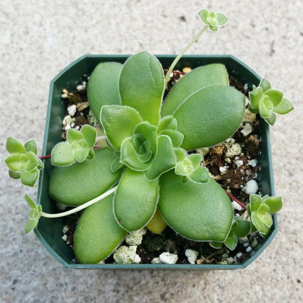 Crassula 0rbicularis