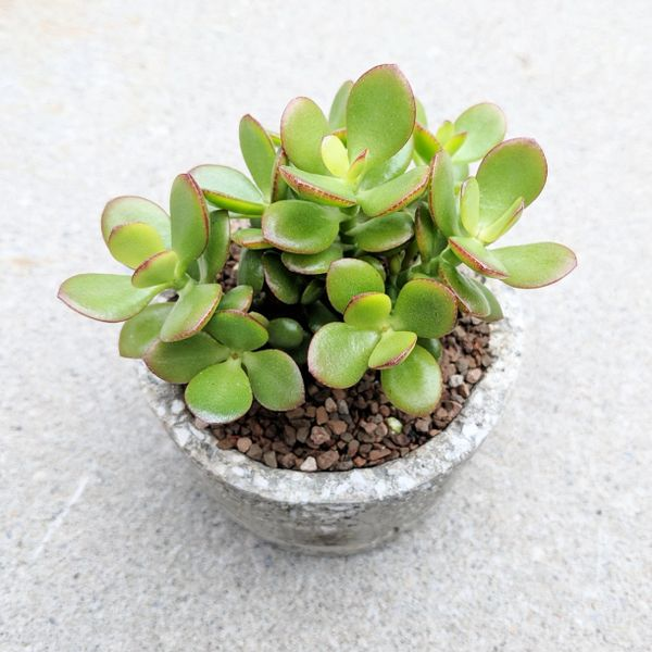 Crassula Compacta Arrangement