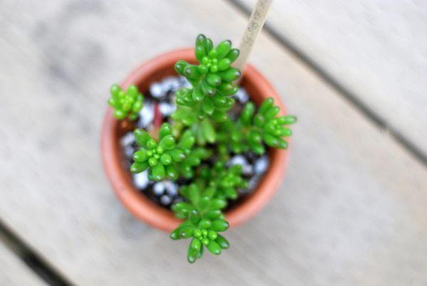 Sedum Rubrotinctum aka Jelly Beans