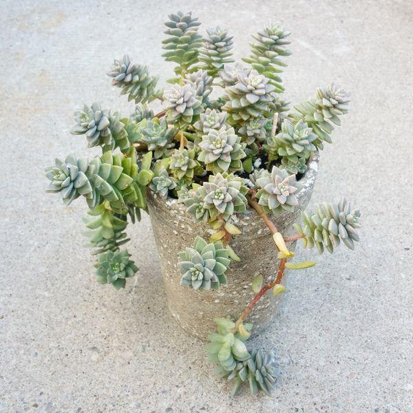 Hypertufa Planter - graptopetalum Mirinae