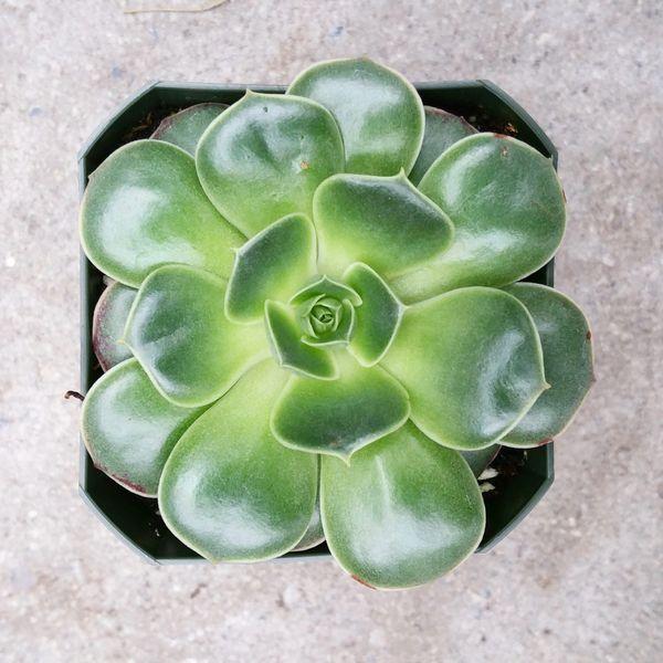 Echeveria Longissima