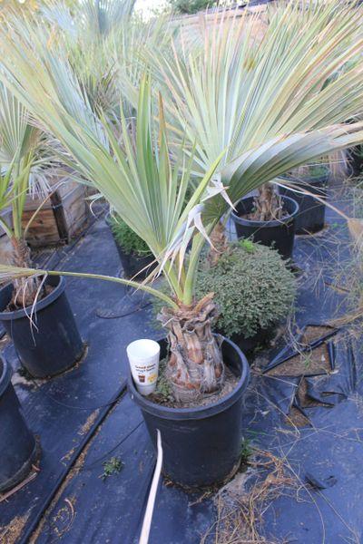 Common Name: Mexican Blue Fan Palm, Blue Hesper Palm 15G Pot
