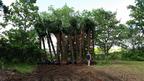 Windmill Palm (Trachycarpus Fortunei) 10-13' of Clear Trunk