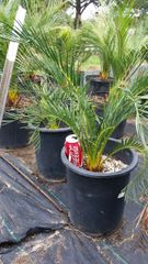 Macrozamia Communis 15G Pot FREE SHIPPING