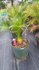 Macrozamia Johnsonii 10G Pot FREE SHIPPING