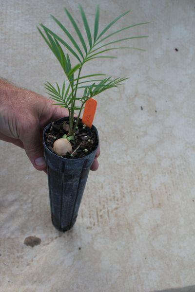 "Cycas Hybrid Taitungensis X Revoluta 2.5"" x 12"" Liner"
