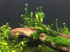 Yellow Freshwater Neocaridina Shrimp
