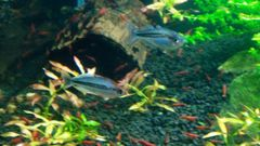 M. Pygmy Rainbowfish