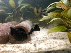 Dumbo Ear Black Moscow Guppy Pair