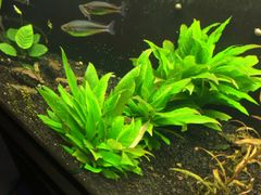 Hygrophila Compacta Multiple Sizes Available