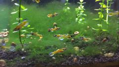 Pair of Rainbow Tiger Endlers - Rare!
