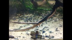 Blue Dream B Team but Still Supreme Neocaridina Freshwater Shrimp