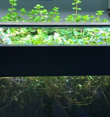Rotala rotundifolia Emersed/submersed