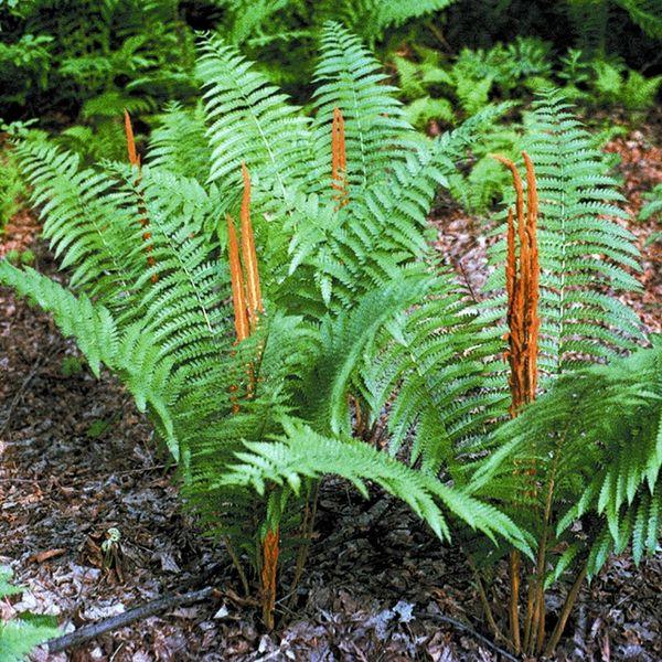 Osmunda Cinnamomea Cinnamon Fern Long Island Native Plant Nursery Native Plants And Trees