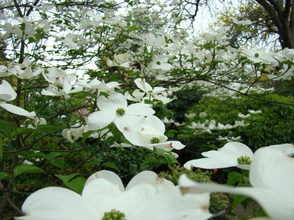 Cornus florida flowing dogwood long island native plant nursery cornus florida flowering dogwood mightylinksfo