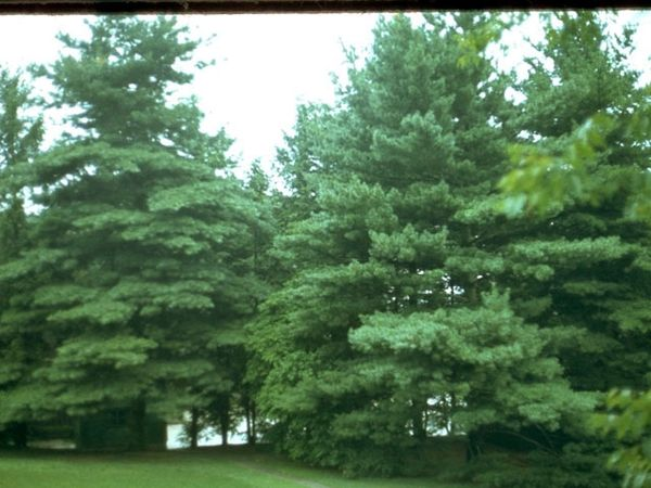 Pinus Strobus Eastern White Pine Long Island Native