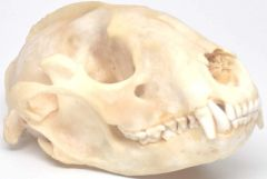 Real Bone Raccoon Skull