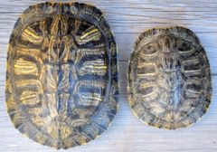 Real Red-eared Slider Turtle Shells