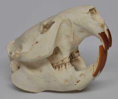 Real Bone Beaver Skull