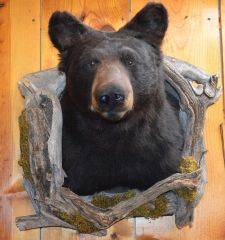 Black Bear Shoulder Mount