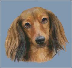Red Longhaired Dachshund NB