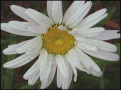 Single White Daisy