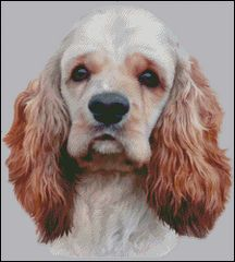 American Cocker Spaniel NB