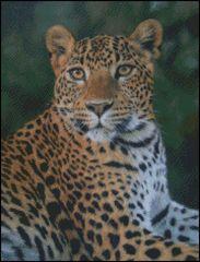 Leopard Stare 2