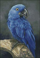 Blue Hyacinth Macaw Study