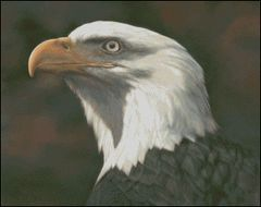 American Bald Eagle - BL