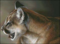 Cougar Study
