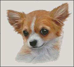 Chihuahua NB