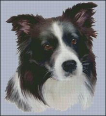 Border Collie NB - HR