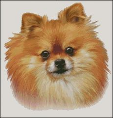Pomeranian NB