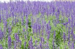 Lavender essential oil 1/2 oz