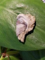 #0791 Paleozoic shark tooth Peripristis semicircularis